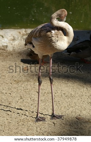 Teenage flamingo - stock photo
