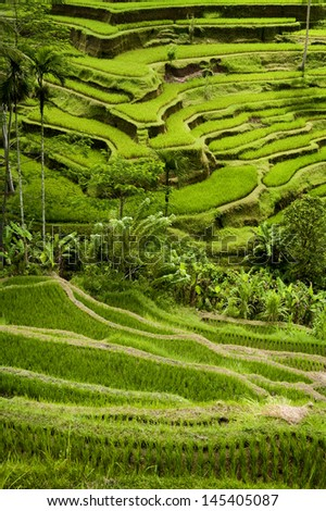 Tegallalang, Bali Rice Terraces. Some of the most dramatic and beautiful rice fields can be found at the village of Tegallalang, not far from Ubud, the cultural capital of Bali, Indonesia. - stock photo