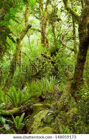 Temperate rain forest, Te Urewera National Park, North Island, New Zealand  - stock photo