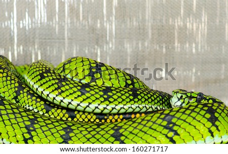 Temple pit snake close up - stock photo
