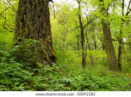 temporate rain forest - stock photo