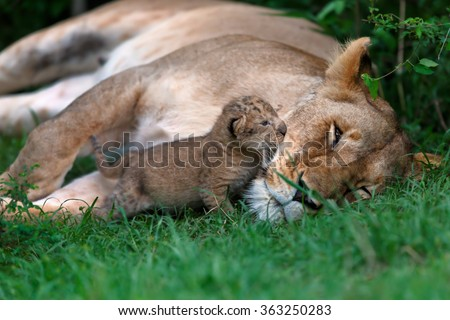Ten days old Maji Ya Fisi Lion baby kissing her mother in Masai Mara, Kenya - stock photo