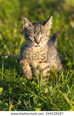 Ten weeks old tiger (tabby) kitten playing in grass in the late afternoon sun  - stock photo