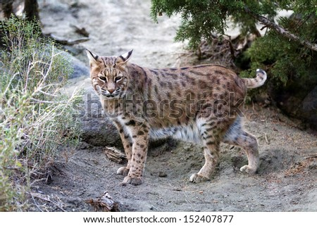 Ten year old female North American Lynx which is also known as a bobcat. - stock photo