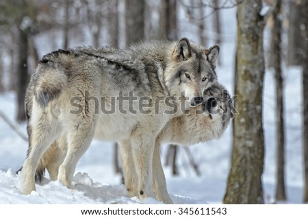 Tender moment between male and female Timber Wolves in snow covered forest. - stock photo