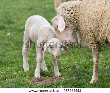 Tender mother sheep with lamb standing on grass - stock photo