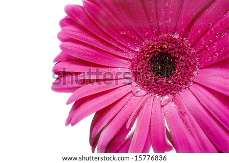 Tender pink daisy with teardrops - stock photo