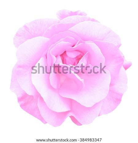 Tender pink rose flower macro isolated on white - stock photo