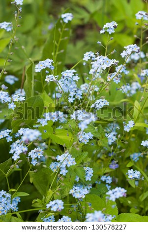 Tender spring flowers, Forget-me-not, background - stock photo
