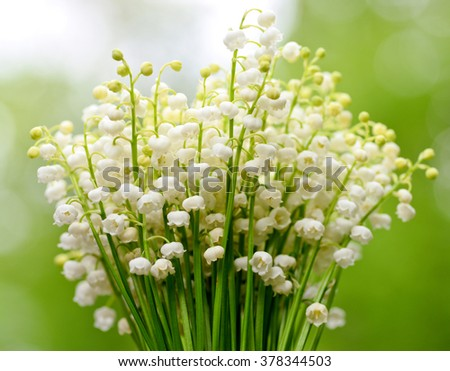 tender spring lily of the valley flower in the natural background/lily of the valley in the natural background - stock photo