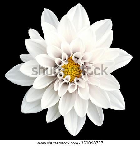 Tender white flower dahlia macro isolated on black - stock photo