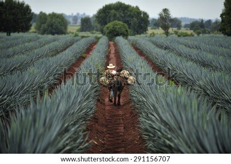 Tequila, Jalisco, Mexico : October.11. 2013: Farmer loading the harvested blue agave by donkey for Tequila production, town of Tequila, Jalisco, Mexico  - stock photo