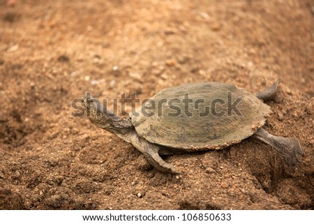 terapin or africam turtle on sand - stock photo