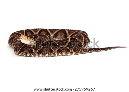 Terciopelo Pit Viper Snake - One of the world's most dangerous and deadly snakes due to the high rate of bites to humans. Snake is coiled up on a white background. - stock photo