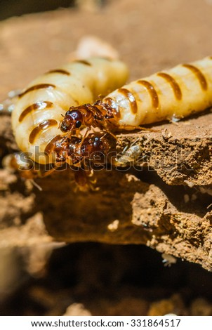 Termite and queen termite in hole. - stock photo