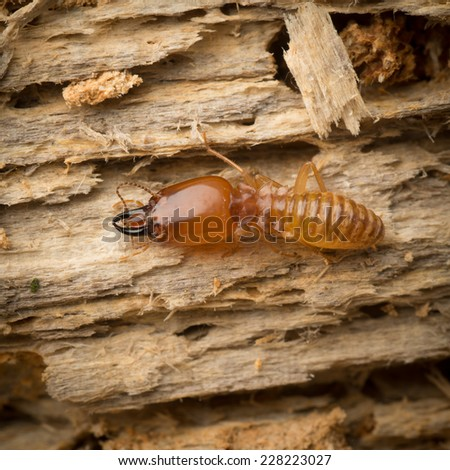 termite on rotten wood, with termite holes. - stock photo