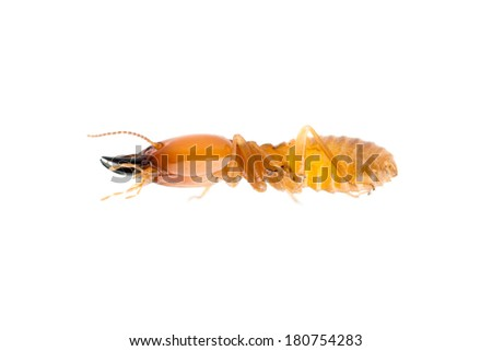 termite, soldier white ant isolated. - stock photo