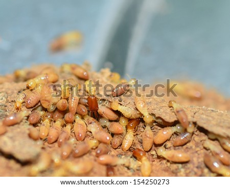 Termites eating the house. - stock photo