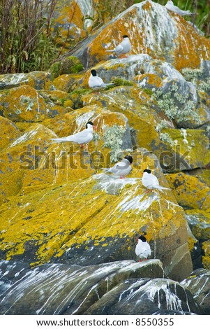 Tern colony  beagle strait, patagonia, argentina - stock photo