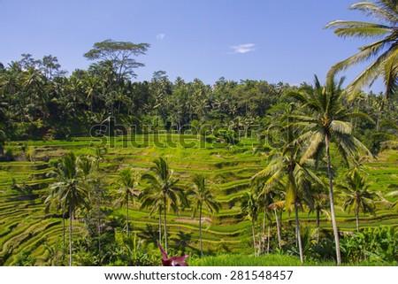 Terraced fields in sunshine. Tegalalang rice terrace. Bali - stock photo