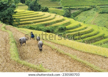 Terraced paddy field in Mu Cang Chai, Yen Bai, Vietnam, with a child playing on field, and some water buffaloes eating grass  - stock photo