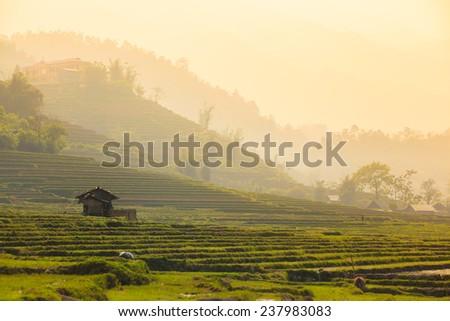Terraced rice field in rice season in Sapa, Vietnam  - stock photo