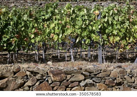 Terraced vineyards of the Douro Valley, Portugal  - stock photo