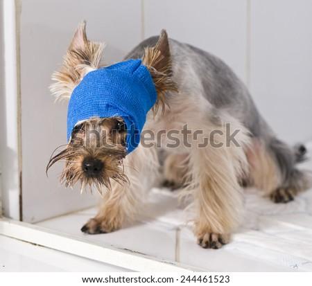 Terrier in broken arm. Animal hospital.  - stock photo