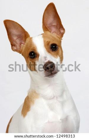 Terrier tilting head. - stock photo