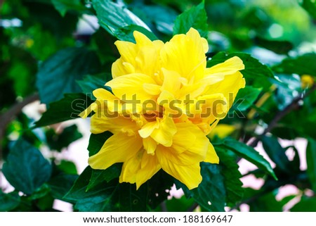 terry yellow hibiscus on tree in the garden - stock photo