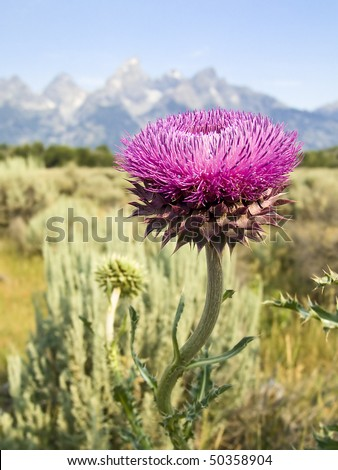 Teton Thistle Flower, Grand Teton National Park, Wyoming. Cathedral Group of the Tetons. - stock photo