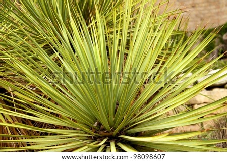 Texas Cactus - stock photo