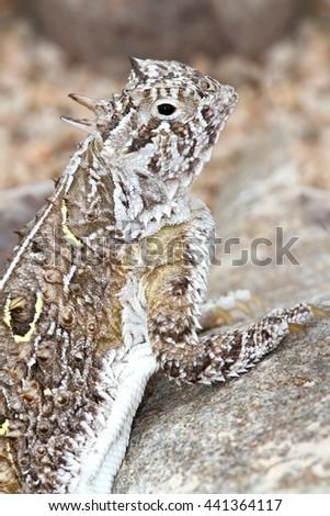 Texas Horned Lizard (Phrynosoma cornutum) in New Mexico - stock photo