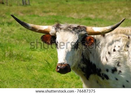 Texas Longhorn cattle in a field of green in the Umpqua Valley near Roseburg Oregon - stock photo