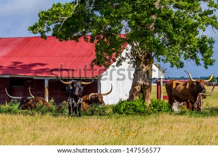 Texas Longhorn Cattle Lounging in a Pasture with Wildflowers and Red Barn in Texas. - stock photo