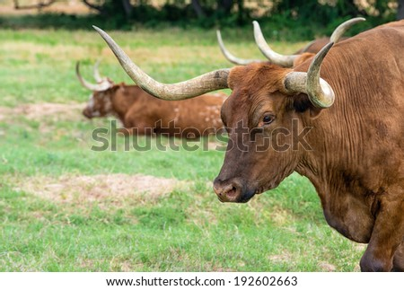 Texas longhorn cattle on green pasture, closeup - stock photo