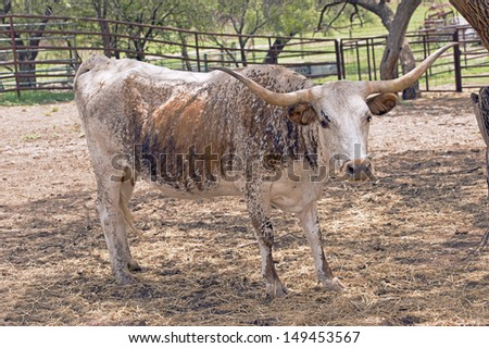 Texas Longhorn cow arriving for food - stock photo