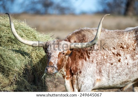 Texas Longhorn feeding in the pasture, closeup - stock photo