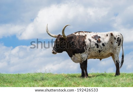 Texas longhorn grazing on green pasture. Sky background with copy space. - stock photo