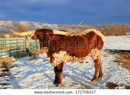 Texas longhorn in a snowy pasture, Utah, USA. - stock photo