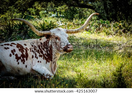 Texas Longhorn Resting Under the Oaks - stock photo