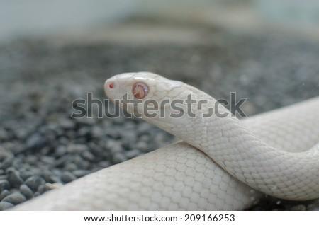texas rat snake - stock photo