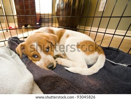 Texas Red Heeler Pup 11 Weeks Old In Sleeping cage. - stock photo