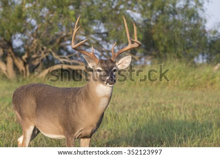 Texas White-tail Deer Buck - stock photo
