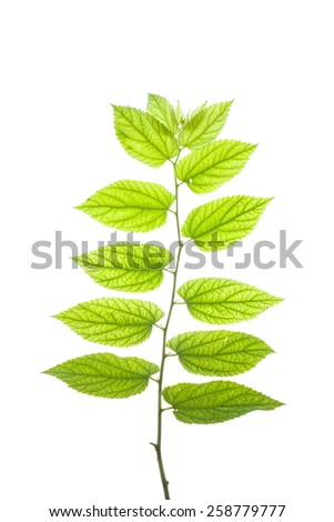 Texture and detail of translucent leaves#3 - stock photo