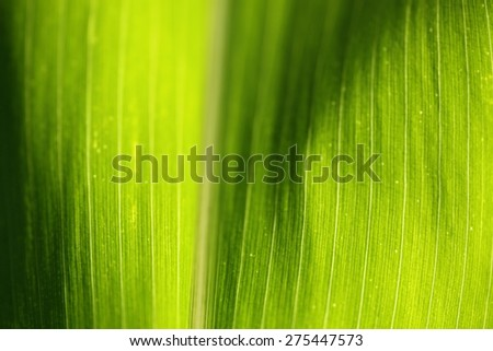 Texture background of backlight fresh green Leaf. - stock photo