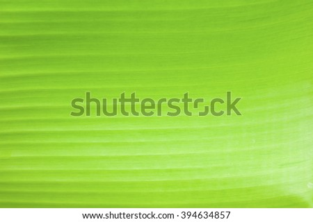 Texture background of Banana Leaf. - stock photo