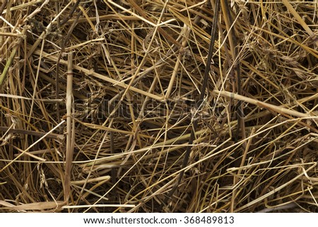 Texture hay closeup in color. Fodder for livestock and construction material. - stock photo