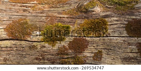 Texture of old wood with moss and lichen - stock photo
