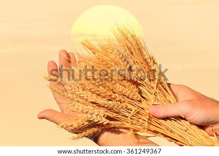 Textured old paper background with wheat ears in a farmer hands - stock photo